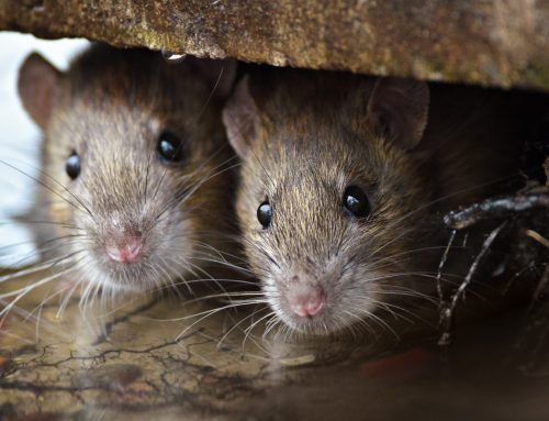 4 Diseases Caused by Rats